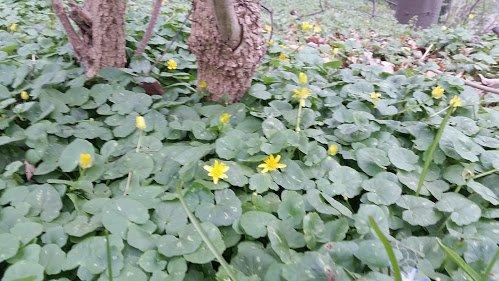 Scharbockkraut (Ranunculus ficaria)