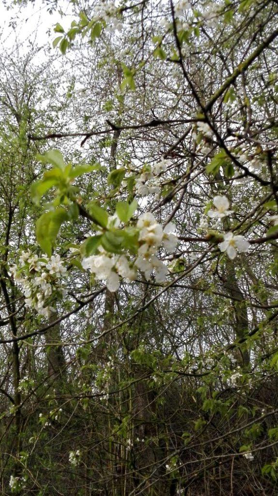 Kirschblüten im Wald