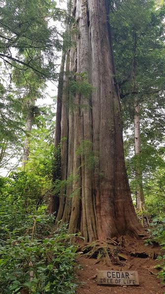 Zeder - Baum des Lebens
